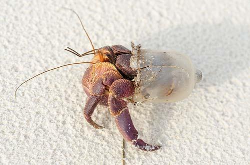 Hermit Crab in Plastic