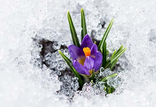 Crocus in Snow